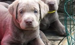 Silver Labrador puppies whelped May 29. Puppies have had dewclaws removed,AKC registration,worming regiment current , microchipped, puppy packandexam and vaccinesfrom our vet. Parents are DNA health tested from DDC against the 5