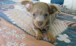 We are offering one male Chihuahua pup. Our Chihuahuas are hand raised and are very used to people and to attention?they are held every day. These pups are from Lulu (dam) and Crimson (sire). Both mom and dad are AKC registered; however,