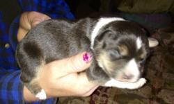 BEAUTIFUL BORDER COLLIE/ AUSSIE PUPPY!!!! ONLY ONE AVAILABLE GREAT FOR SURPRISE GIFT STEAL YOUR HEART..... AWESOME FOR KIDS AND FAMILY OR INDIVIDUAL FOREVER FRIEND:-)!!! TREAT YOURSELF:-)!!! POSSIBLE DELIVERY! ONLY $125 HAVE PAYPAL:-)!!! SMALL DEPOSIT
