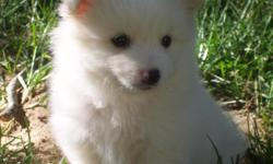 """3 Male Pomimo Puppies ready for adoption. We have """"Po"""" who is considered a wolf sable, hes the biggest and first born. He is calm, and curious. He is Brown, Sable, Black and White. With points and a mask. """"Pom"""" is very fluffy. He is white with a"""
