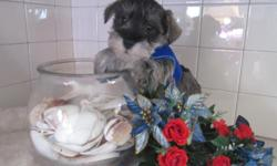 Ever wanted someone to sit on your lap? Well then I'd be the perfect boy for you! Hi, There! I'm Snoopy! No not like the one in the comics, but I am pretty awesome! I'm just the amazing Male Miniature Schnauzer! I was born on February 1st, 2014 from a 15