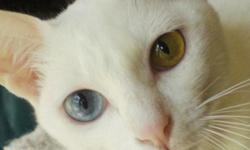 Beautiful white Khao Manee kittens available, both male and female! Known for their affectionate personalities and intelligence, these will truly change the way you view cats. Wonderful with children and other pets. Allergy sufferers