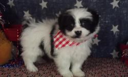 WEEKEND SPECIAL July 8 -10 on Pomapoo boy to help free up space in my home. Please take a look at my website@www.tjspreciousdesignerbreeds.com to find out more and give me a call Thanks Tammy 423-903-3749