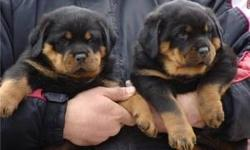 Special little Rottweiler puppies Come choose your special little Rottweiler puppies now. They have their first set of shots, their tails docked, and dew claws removed. Text Only Via (530) 522-8115