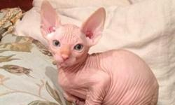 Exceptional pedigree Sphinx kittens . Mum is tortie and dad is cream , dad has 1cc. Both parents can be seen as they live with us. They are extremely affectionate and loving. Both mum and dad are GCCF and TICA registered on active, 5 generation