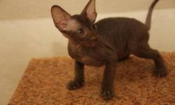 AKC M/F Lovely sphynx kitten ...Only Text us at 608-501-0389 for more info and pics.Thanks