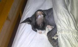 My female blue Sphynx female is expecting July 26, 2013 >> If you wish to go on a list please contact me at 631-942-2022