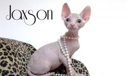 I have a couple of sphynx kittens. I have both males and females. I have a calico girl, a blue girl and a black tortie. I also have a blue male. They are Cfa and tica registered. They do come with a complete health certificate. You can get as a pet or
