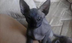 Sphynx kittens for sale Two Black Males One Red Female Completely Bold Loving Playful Raised with other cats and dogs TICA Papers Please Contract me at (951)665-3665 Incase of no answer, Please leave your name and number and the reason why you are