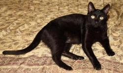 """Spooky"" deserves his own loving person and he will be your forever companion.  Your lap is his favorite place to be and he will stay there as long as you let him.  He loves pets, likes to play ball and feather toys.  He is also a quiet"