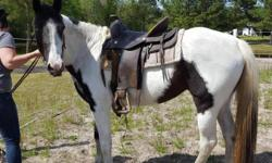 Beautiful black and white spotted saddle bred paint with one blue eye. 15 plus hands 6 yrs. Loads , stands for farrier was completely broke but then not messed with for a year. She is being worked with now. Rides goddess but has lots of energy and needs