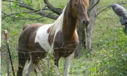 Rocket's April Lady is an 18 year old Spotted Saddle Horse mare who has been used as a broodmare and for trail riding. She is a sorrel tobiano and is 15 hands in height. I have owned her for 11 years but no longer have time to ride. She