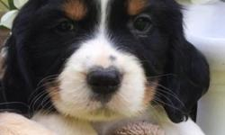 Beautiful AKC Registered Springer puppies. Sixweeks old and ready for their new homes on 7/13/16 at eight weeks.They are playful,happy, and have been socialized since birth. Both parents are at our home. We welcome