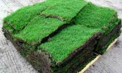 """Fresh cut green"""" St.Augustine Grass, prices per each 450 sqft pallet with 165 pieces, are $85.00 + tax= $92.01 <<(cash price) or $89.50 + tax = $96.88 if purchased with credit or debit card with master or visa logo on card Sorry no checks accepted. Sold"""