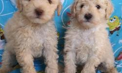 French Poodle Minitoys are 8 weeks old I have 2 males  will grow to about 1 foot or less they weigh between 4 ½ to 7 ½ pounds, approximately. are only dewormed are adorable, playful, affectionate, and well good. sell them at $250 -I live in Moreno