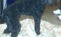 All black standard poodle for sale. 1 year old but a little on the smaller side so he isn't a typical huge standard poodle. Great with kids and other dogs and cats. House broken. He is AKC registered with a good pedigree. Up to date on shots and