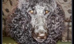 STANDARD POODLE PUPPIES.10 WEEKS OLD.3 BOYS LEFT. ALL BLACK MOTHER IS BLACK WITH SILVER HIGHLIGHTS. FATHER IS APRICOT. THEY HAVE HAD 1ST SHOTS AND DE-WORMED. THEY ARE CKC REGISTERED.
