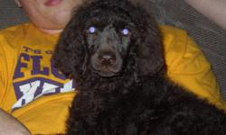 Black Standard Poodle puppies, born April 16th - ready for their new homes!! These puppies are going to be large sized adults.  225-281-2592. www.southernstandards.com