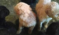 2 males ,1 female apricot and black. ACA registered, shots and wormed. 8 weeks old