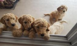Gorgeous family raised pure bred standard poodle puppies ready for their new homes. Vet checks and vaccinations and deworming done. They are well socialized by my family and mother of puppies is with them. Health report from vet will be provided. We only