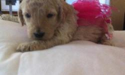 I have Standard Poodle puppies awaiting their new forever home. They were born on July 7th and will be ready to go home September 1st. We are taking deposits now.Call me at 870-203-0622 for more pictures and details. Mother and father