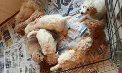 AKC Standard Poodle Pups.  Parents on site.  Whites, Creme, apricot, red, males and females. Payment plans available.  For more information 979-716-1380  Diann@jadewoodfarm.com.