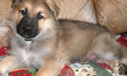 This male is a fourth generation puppy of our bloodline. Outstanding Health, Temperament, and Beauty for generations! This is Aaliyah's last puppy from her last litter so your last chance to get a puppy from Aaliyah. Available $1,500: This gorgeous sable
