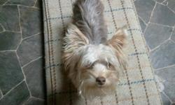 500+ stud fee KY lines! purechocloate lines ! 6 or 7pounds AKC *