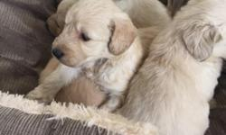Stunning KC registered Retriever Puppies We are pleased to announce the safe arrival of our 13 gorgeous puppies. Mother is our family pet, she is so loyal and has a great temperament. Dad is also ours and again loyal, loving, playful and intelligent. Dad