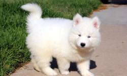 What a sweet girl! Nikita is our smart, loving siberian Husky princess. She has strong features and muscular builds. She will be one gorgeous girl. She is very exciting and is super easy to train! Nikita is a great choice for a first time puppy owner! Get