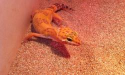 I have 6 Sub-Adult Leopard Geckos for adoption. They are High Yellow, and Tangerine in color and feeding on mealworms and medium/large crickets. They do not come with a cage. Adoption Fee 30.00 each OBO. Will give better discount if you get more then one.
