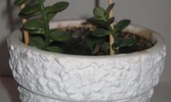 Moving to Peru. Everything must go. This is a Jade Succulent plant, well established. Now $8.00.