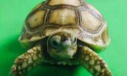 The African spurred tortoise, also called the sulcata tortoise, is a species of tortoise, which inhabits the southern edge of the Sahara desert, in northern Africa.The African Sulcata Tortoise (Geochelone sulcata), or African Spurred Tortoise, is