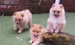 Our beautiful Micro Tiny Teacup Pomeranian puppies is ready to go to his new forever home now.Text at (305) 501-3760. They are absolutely gorgeous. They are healthy, bouncy and playful. Both mum and dad come from excellent bloodlines. They puppies are AKC