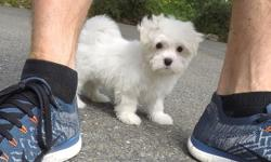 """""""Harper"""" is the cutest little AKC registered male Maltese puppy! His adorable personality will melt your heart! - AKC Registered - 9 weeks old and Ready to Go Home! - One Year Congenital Health Guarantee - Current on Vaccines - Adult Weight : 5-6 lbs -"""