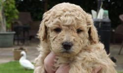 I have Four Toy Poodle puppies. 2 female and 2 male. All are AKC registered. Their moms and dads both are AKC signed up poodle. We expected them to be full grown 5-4 lbs. They are extremely lively and extremely smart. They will certainly include 1st set