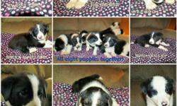 I think we may have the cutest puppies ever! Border Collie puppies for sale. $350.00 and they will have their first set of vaccinations. Farm raised, and kid friendly! Their momma is a black and white tri, and is super smart and hard working. Their daddy