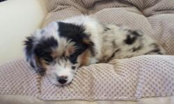 Super cute little Blue Merle Female Miniature Australian Shepherd puppy! Very sweet temperament! Beautiful markings! She is AKC registered. We have been working with her on potting training, and she is doing well! Call for more