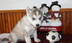 Super Cute Litters of Outstanding Siberian Husky Puppies Available for sale.Texts and Calls for more info and text.