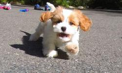 """""""Bronx"""" is our gorgeous male CavaChon designer puppy! He's a little shy at first, but he's the cutest when he warms up to you! * Cavalier King Charles Spaniel x Bichon Frise * 10 weeks old * Health Guarantee * Current Vaccination Record * 12-15 lbs Full"""