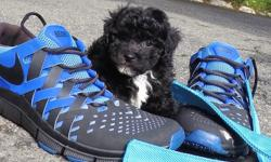 """Come and see our super cute, designer Male YorkiePoo puppy """"Lincoln""""! He's a little shy at first, but he's very playful! * Yorkshire Terrier x Toy Poodle * 9 weeks old and ready to go home! * Current on Shots and Deworming * Vet Checked and Cleared *"""
