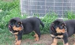 Super Cute Rottweiler Puppies For Sale AKC Registered (12 Weeks old) We Have excellent Puppies available, Huge Square Heads, Vaccinated and Dewormed, Champion Bloodlines, Health Guarantee, AKC Registration, If you are interested in this litter or have