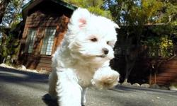 Adorable Tiny female Maltese puppy named 'Mama' available to Go. She has the sweetest personality and loves to play! * AKC Registered * 10 weeks old * Health Guarantee * Current on Vaccines * 5-7 lbs Full Grown * Vet Checked * Clean Bill of Health *