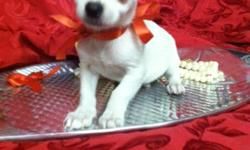 a sweet loving teacup chihuahua male pure white as snow! with big beautiful black eyes and a short snout! big personality loves kids loves to play! will be 2-3lbs max* call and see him today* --