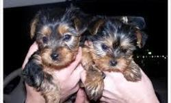 Yorkie puppies to offer for adoption. My Yorkie are had all shots, have excellent temperaments, good pedigrees, weaned, vaccinated, groomed, house broken. All paperwork attached. They are AKC and CKC registered with a year congenital health warranty.