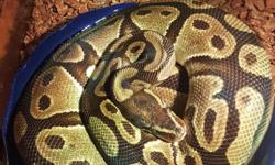 I have an adult female regular type ball python for sale. She's extremely calm, sweet and curious. She's about 4 and a half feet when fully extended and feeding on live medium rats. I'm asking $150 which is what I paid for her.