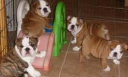 Hi there we have sweet baby English Bulldog Puppies ready to go to a new home, These Puppies are vet checked and will be coming with their toys and paper, We have a vet record for the puppies and they are only two left that is the Male and Female. They