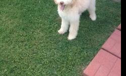 Beautiful and sweet seven month old female goldendoodle.  Up to date on shots, paid obedience school for life.  Due to unforeseen circumstances owner not able to keep her.
