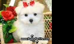 We have sweet toy and teacup Maltese puppies available now. They are 8 to12weeksold and they are the perfect family pet. They are adorable and the price starts at $500. All of our puppies are registered andall vaccinesare up