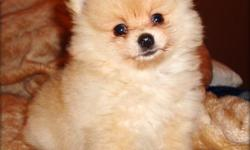 i have two cute little pomeranian puppies available . they are very sweet puppies . 4 months , registered and current on their shots . for more info and pictures of the puppies . text or email .(630) 708-8024